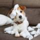 Hund mit zerfetztem Kissen auf dem Sofa